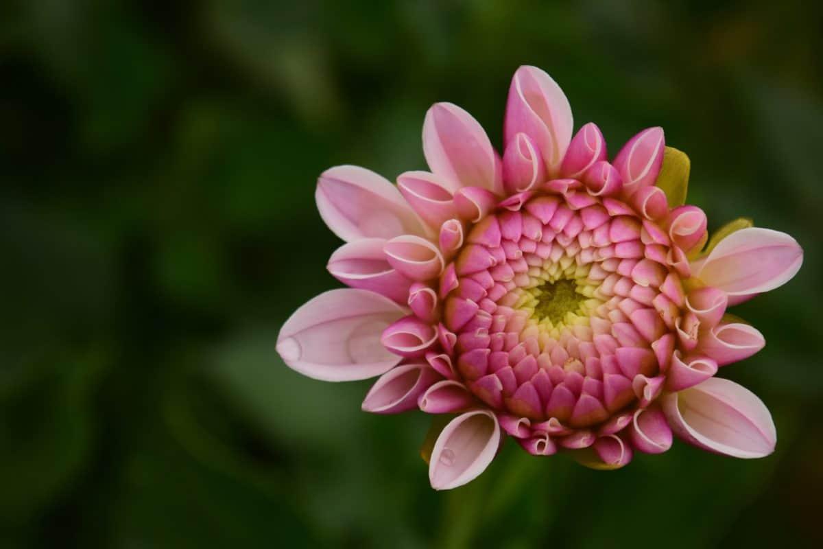 花、花びら、雌しべ、庭、夏、植物、自然、ピンク、工場