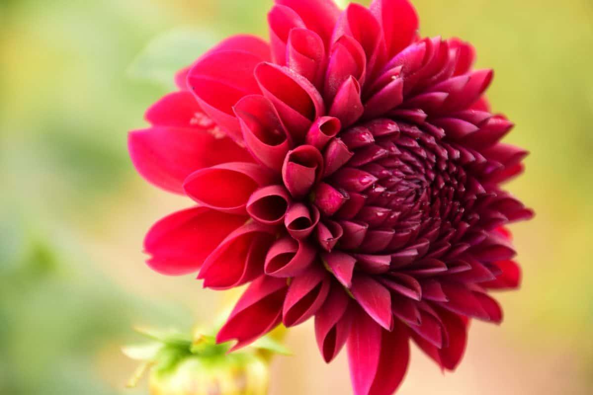 美しい、マクロ、赤い花、庭、植物、自然、葉、夏、花びら