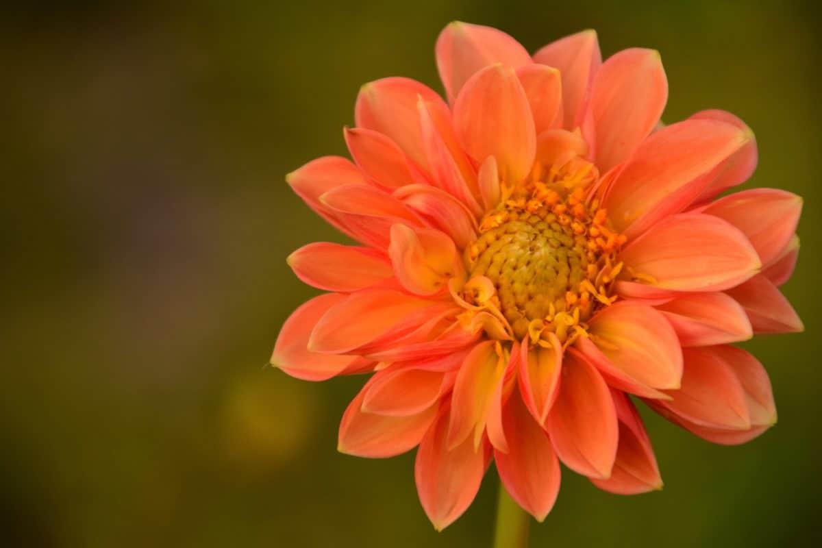 fiore, giardino, natura, petalo, flora, estate, fiore