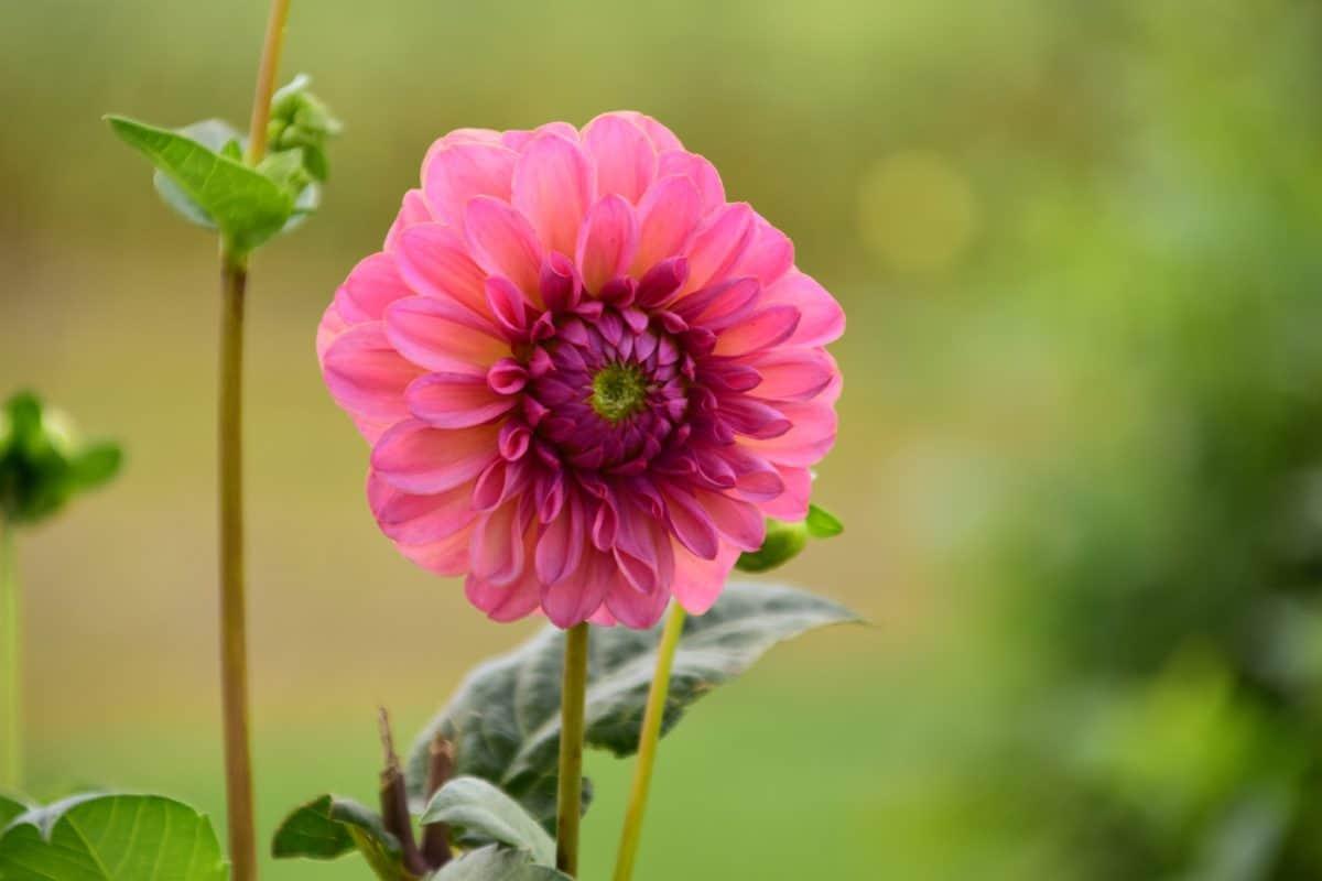 natuur, zomer, flora, Tuin, bloem, blad, stuifmeel, roze
