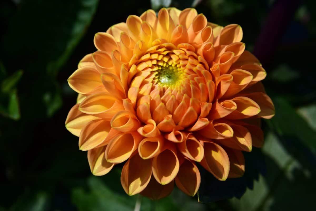 l'été, macro, jardin, nature, flore, fleur, feuille, pétale, plante