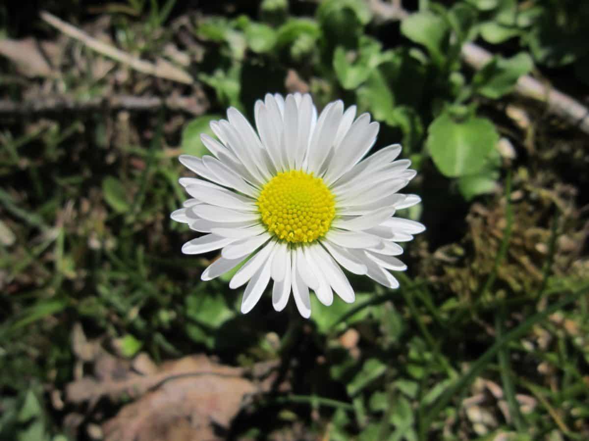 flore, fleur, daisy, l'été, nature, plante, fleur, herbe