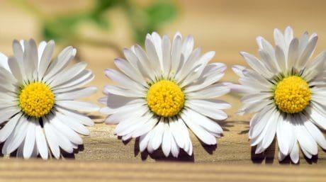 nature morte, fleur, nature, été, pétale, flore, daisy, fleur