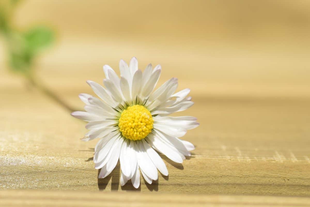 estate, natura, daisy, fiore, pianta, fiore, petalo, giardino