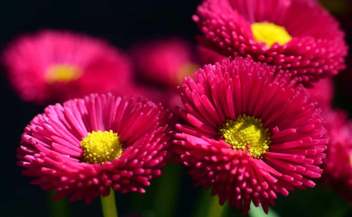 petalo, fiore, natura, estate, flora, rosa, pianta