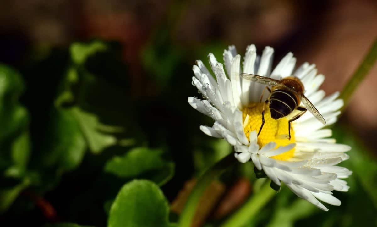 naturaleza, insecto, flor, flora, abeja, planta, flor, Margarita, macro