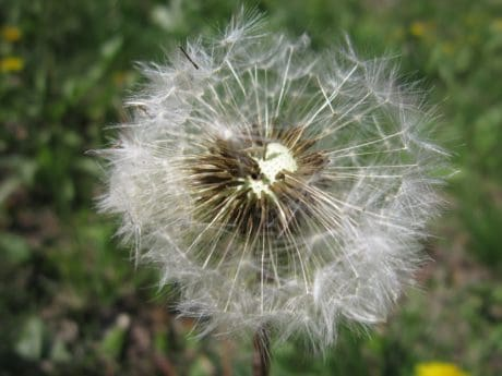dandelion, macro, seed, grass, flora, summer, field, nature, flower