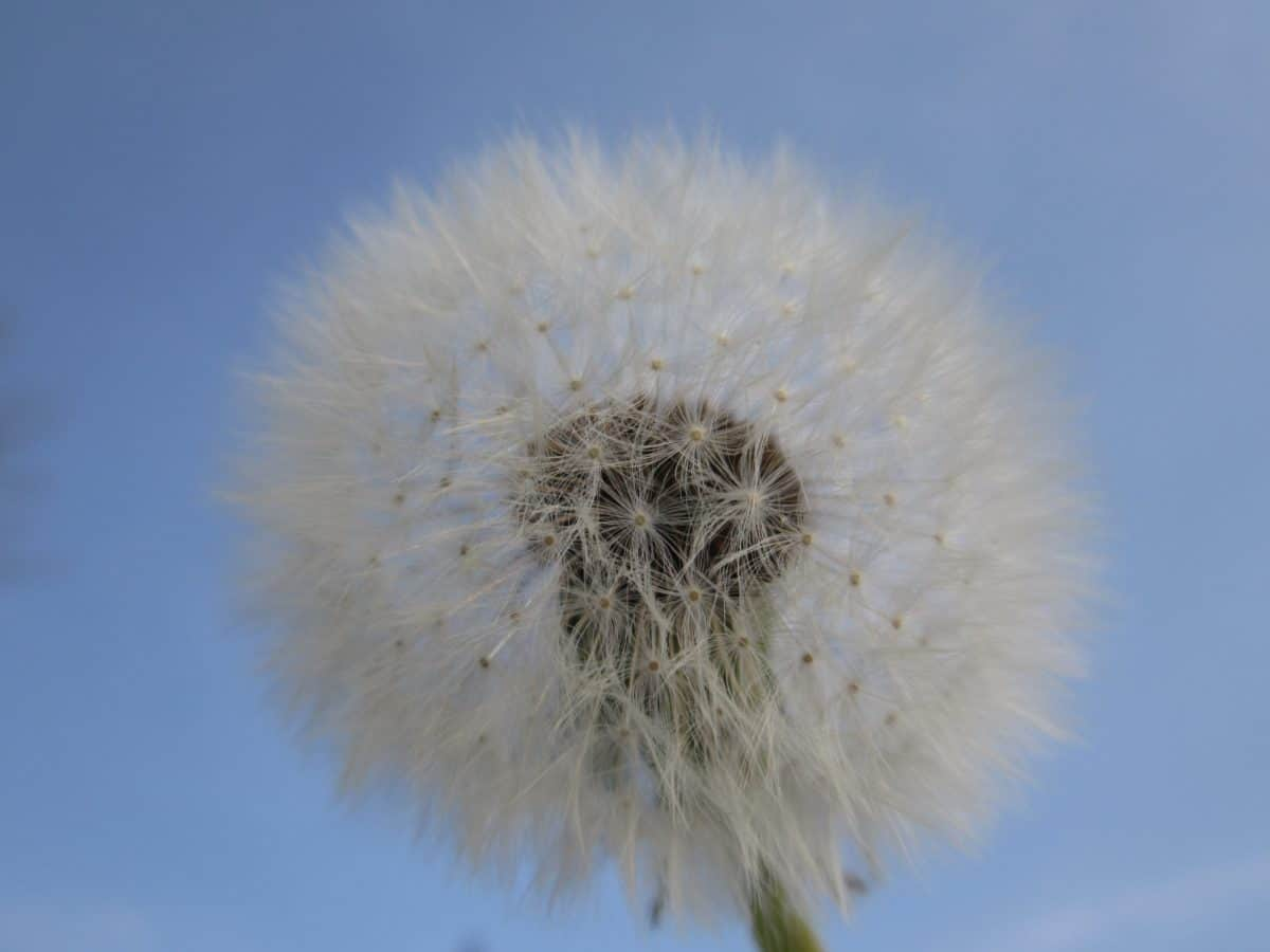 nature, blue sky, wind, flower, dandelion, flora, herb, plant