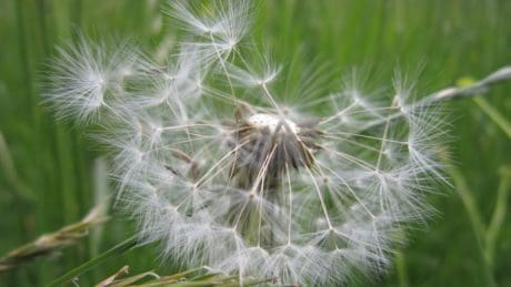 dandelion, wind, grass, nature, summer, seed, flora, herb, plant