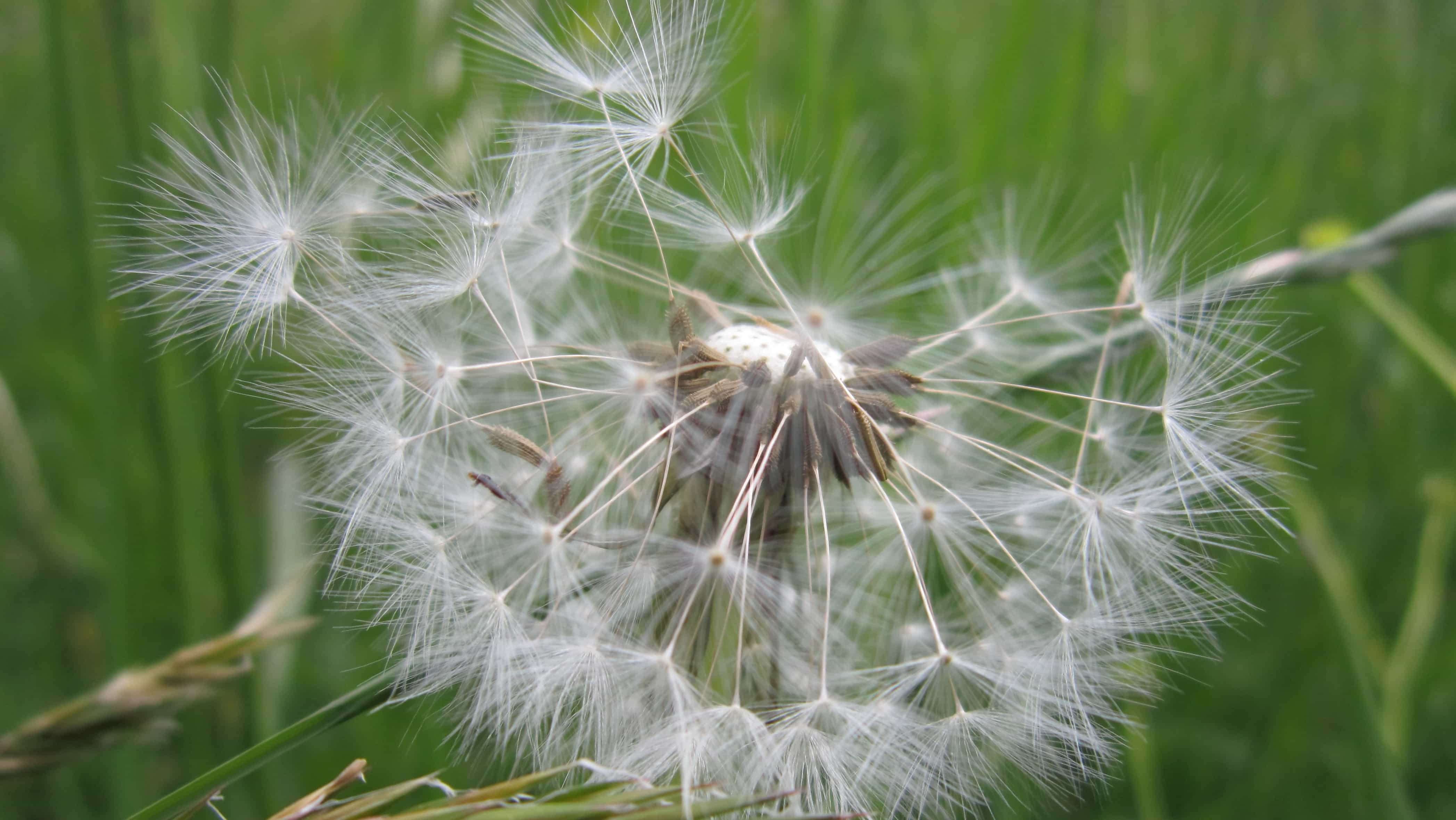Festival Of Speed >> Free picture: dandelion, wind, grass, nature, summer, seed, flora, herb, plant