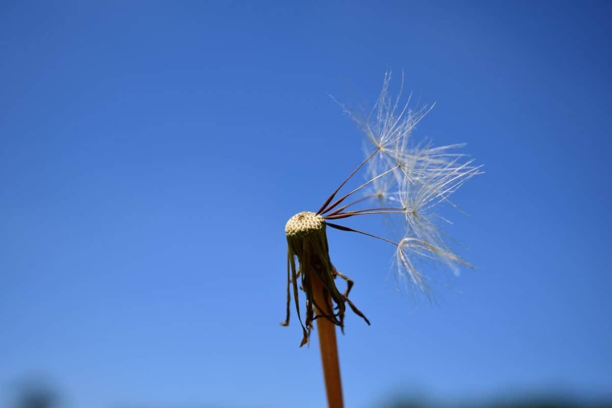 blue sky, herb, plant, dandelion, seed, macro, wind