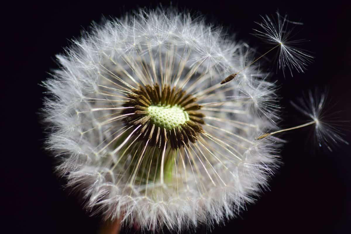 Löwenzahn, Makro, Wind, Samen, Kraut, Pflanze, flora