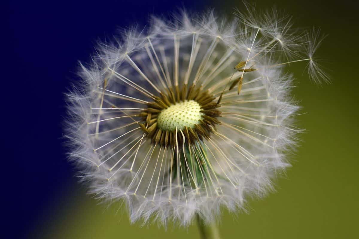 été, pissenlit, fleur, flore, semences, nature, plante, plante