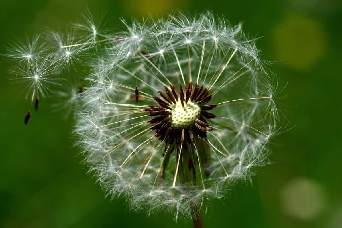 natur, sommer, makro, vind, mælkebøtte, flora, urt, plante