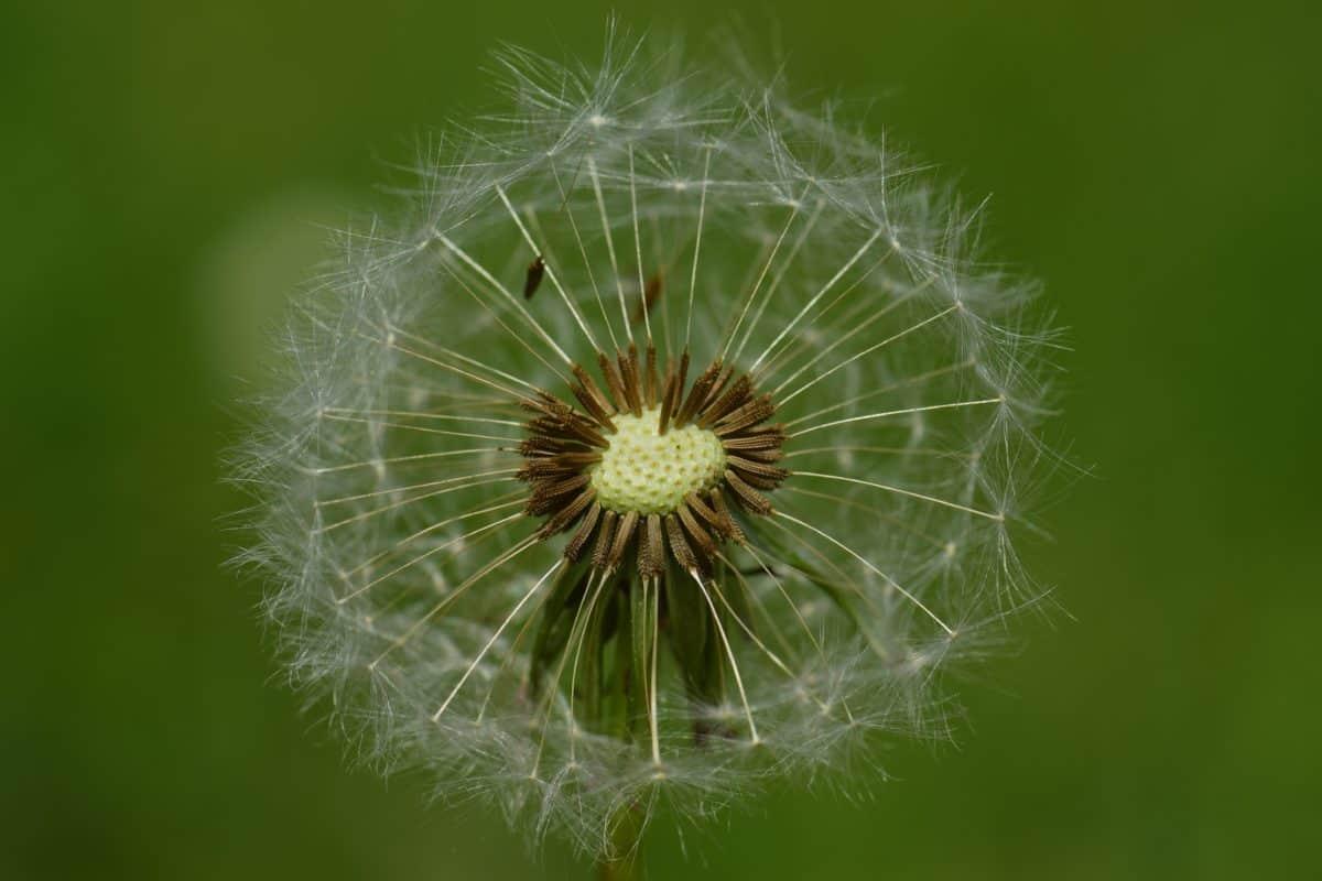 Sommer, Samen, Löwenzahn, Rasen, Natur, Flora, Kraut, Pflanze