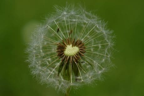 summer, seed, dandelion, grass, nature, flora, herb, plant