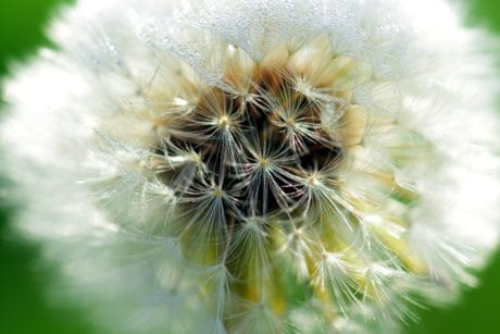 dandelion, garden, flower, summer, macro, beautiful, nature, seed, flora