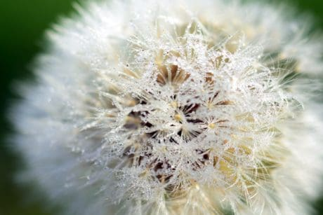 garden, summer, macro, beautiful, flora, seed, flower, dandelion, nature