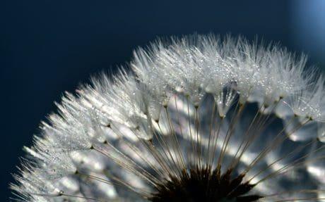 estate, natura, seme, dente di Leone, erba, macro