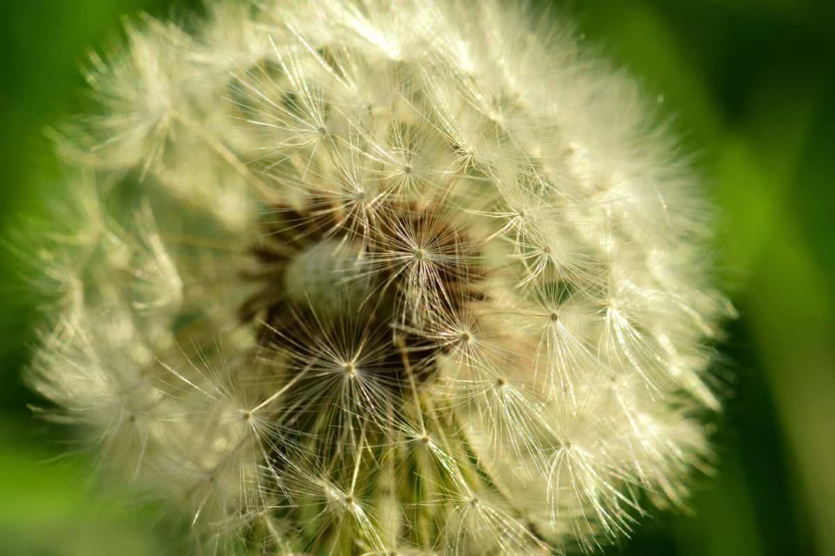 Sommer, Löwenzahn, Rasen, Samen, Pflanzen, Natur, Kraut, Pflanze