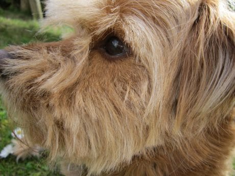 pet, fur, animal, portrait, brown dog, cute, nature, terrier
