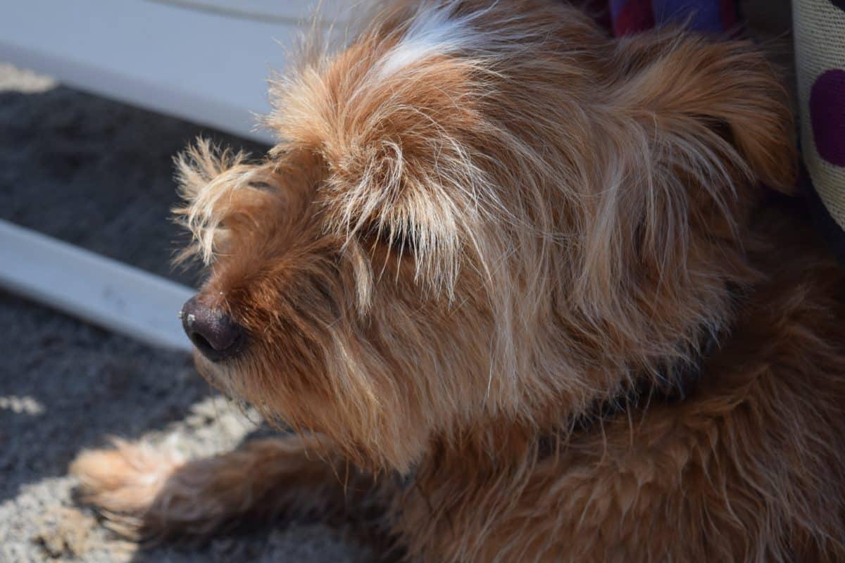 animal, perro, animal doméstico, patio trasero, canino, retrato, Linda, piel, cachorro
