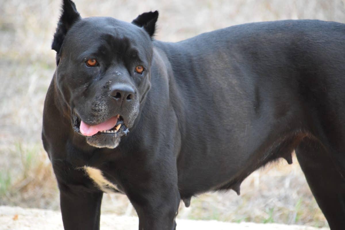 sort hund, dyr, jord, udendørs, pels, udendørs