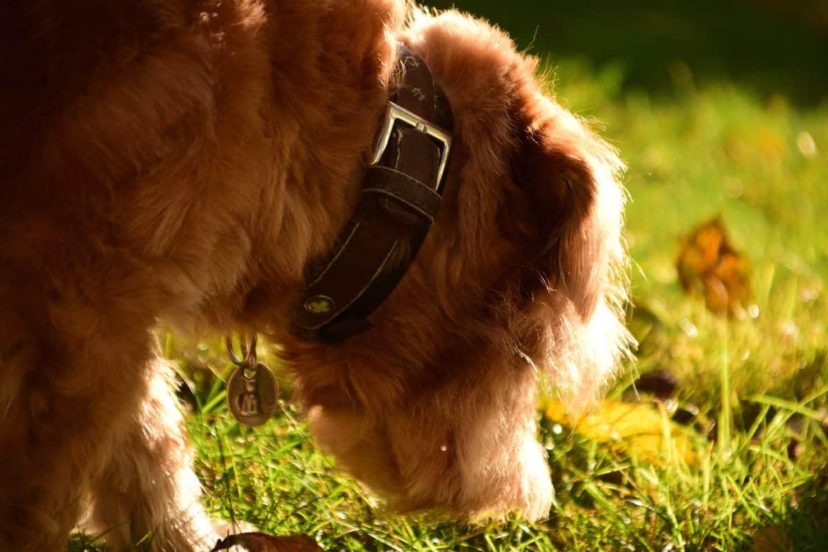 mascota, retrato, animal, lindo, canino, perro, piel, verde hierba