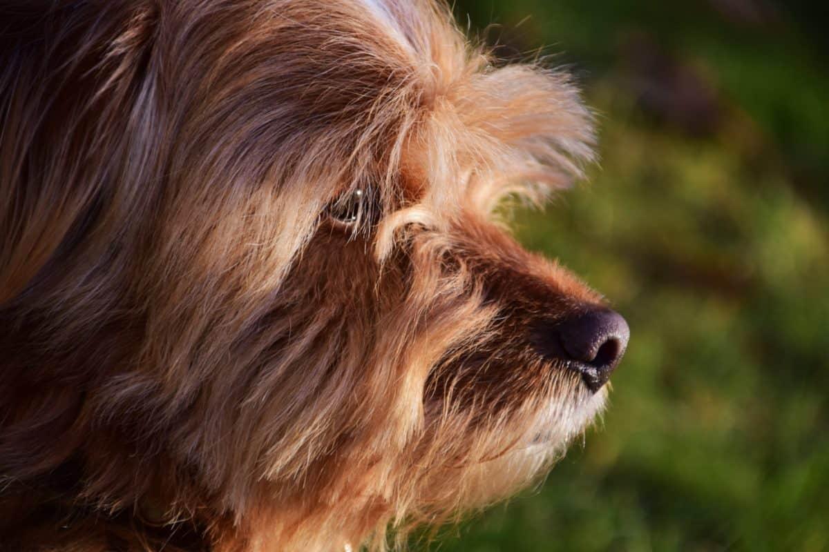 dyr, portrett, hunden, pels, Skrekkelig, hjørnetann, kjæledyr, brun