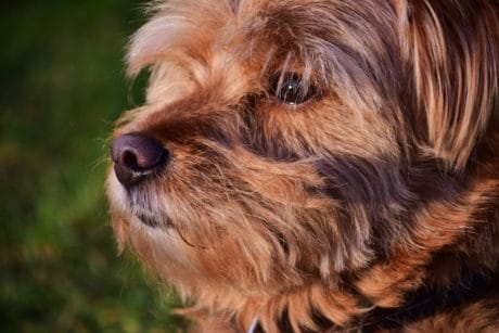 cute, animal, puppy, terrier, dog, canine, portrait, pet