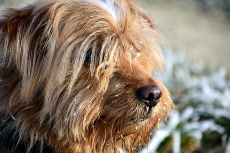 fur, canine, animal, pet, cute, dog, portrait, terrier, brown dog