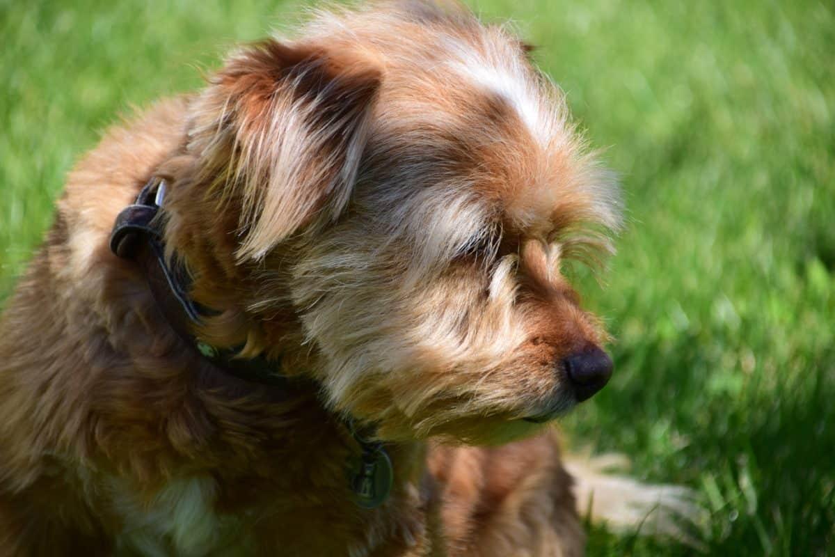 강아지, 동물, 개, 모피, 초상화, 귀여운, 강아지, 애완 동물, 녹색 잔디