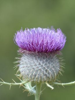 Thistle, flora, macro, wildflower, natura, estate, erba, all'aperto