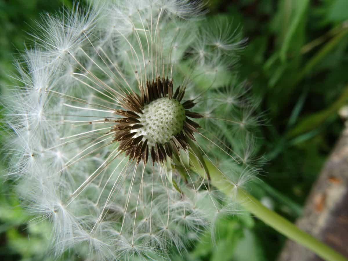 grass, macro, wildflower, nature, seed, summer, flora, dandelion, herb