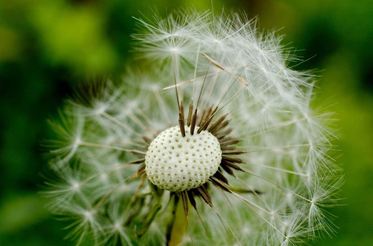 flora, macro, seed, daylight, dandelion, summer, nature, herb, plant