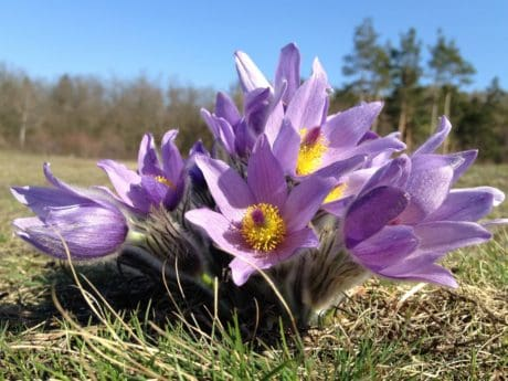 wildflower, petal, garden, flora, beautiful, nature, crocus, meadow
