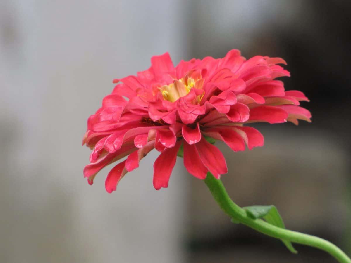 nature, summer, flora, garden, petal, flower, pink, plant