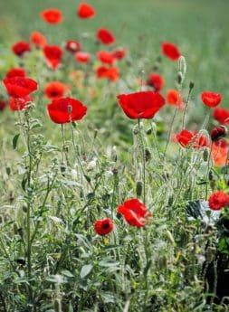pavot à opium, champ, fleurs, été, flore, nature, pré, bloom