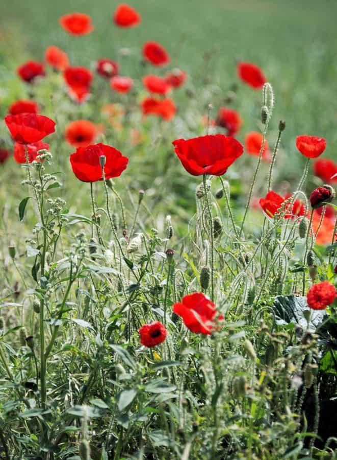 opium poppy, field, flower, summer, flora, nature, meadow, bloom
