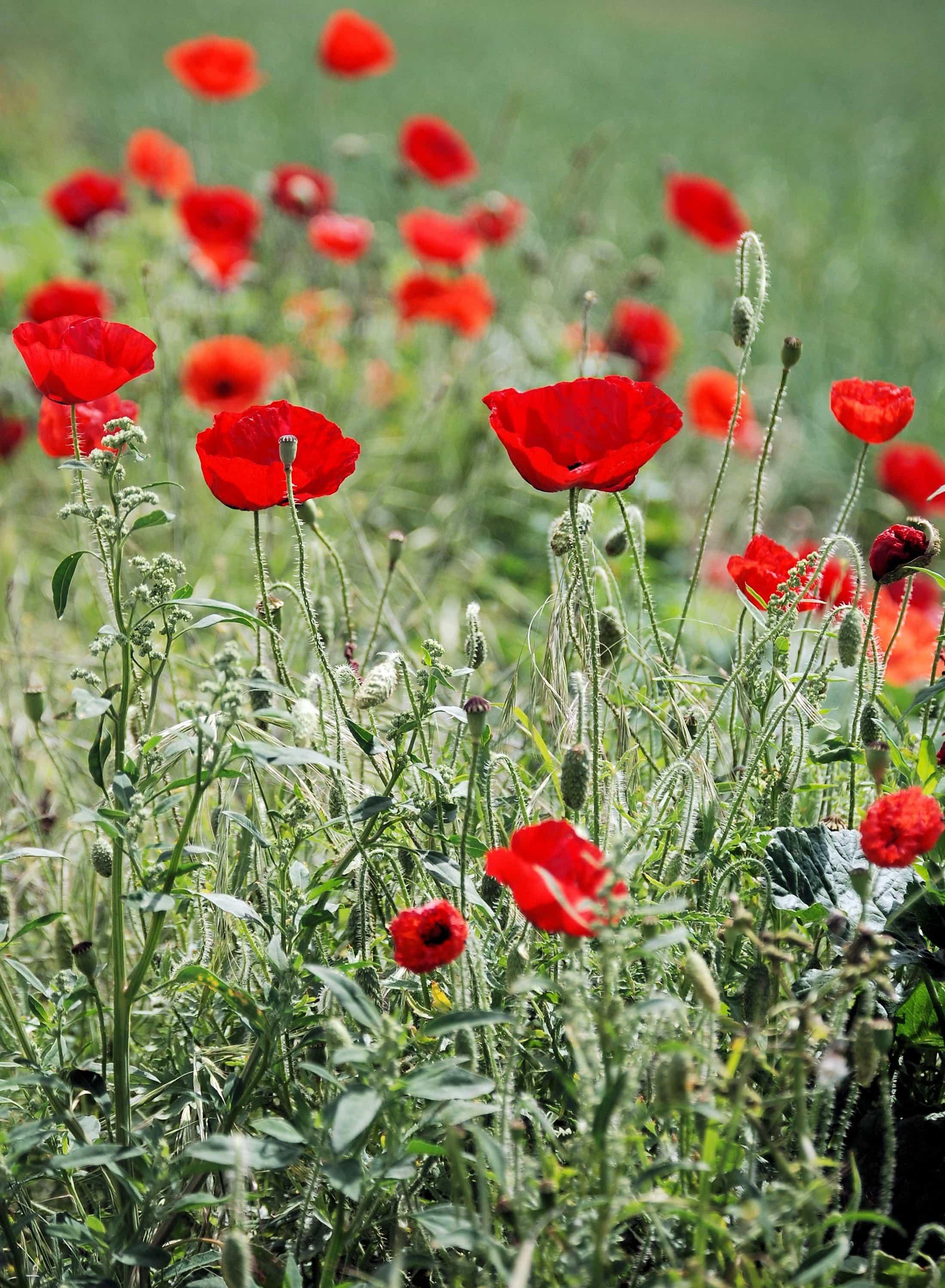 Free Picture Opium Poppy Field Flower Summer Flora Nature
