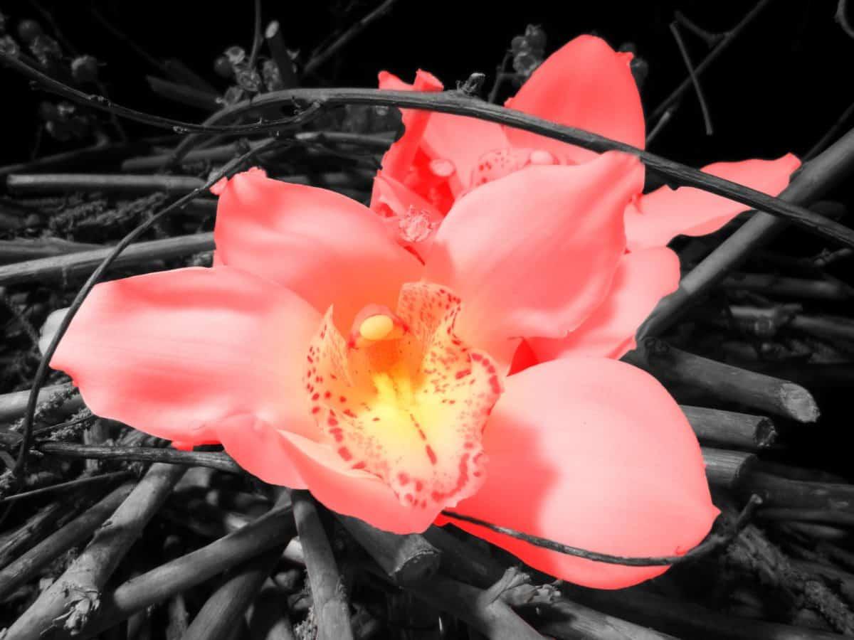 花、植物、花弁、キョウチクトウ、ピンク、ローズ、地面
