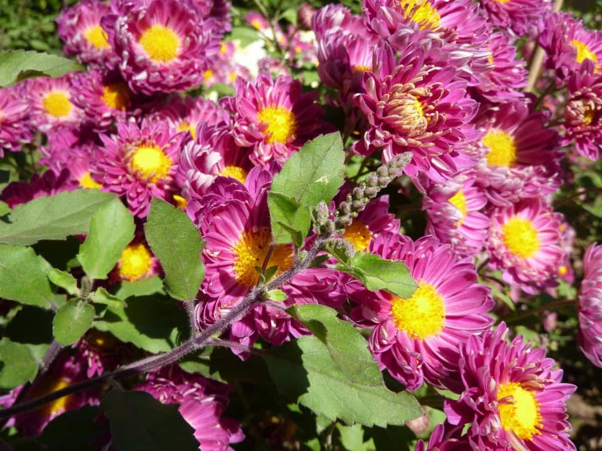 fargerik, kronblad, hage, wildflower, sommer, blad, natur, flora, herb
