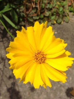 flower, flora, nature, herb, plant, sunflower, petal, garden