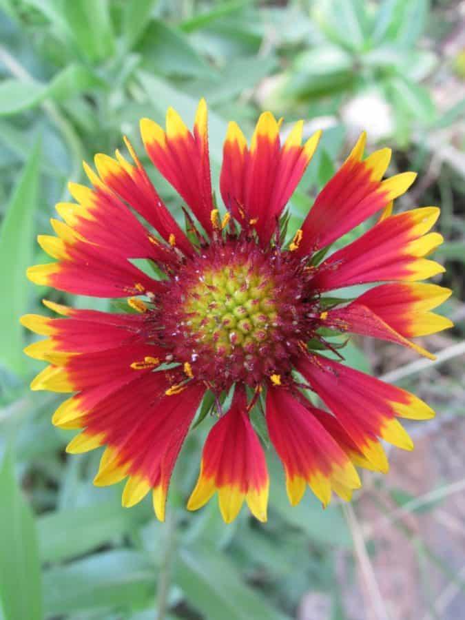 fiore, giardino, flora, estate, petalo, foglia, natura, girasole