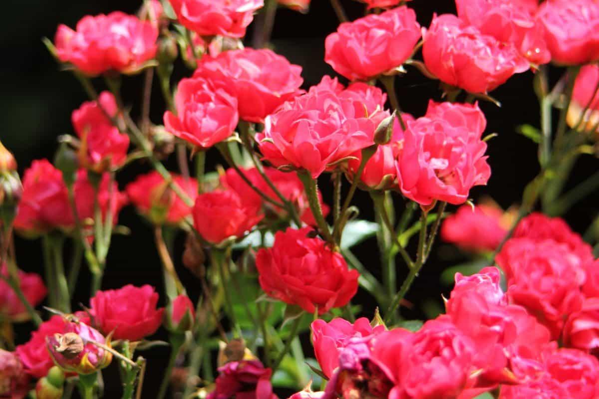 cvijet, prirodu, list, ruža, latica, flore, vrtu, crvena ruža