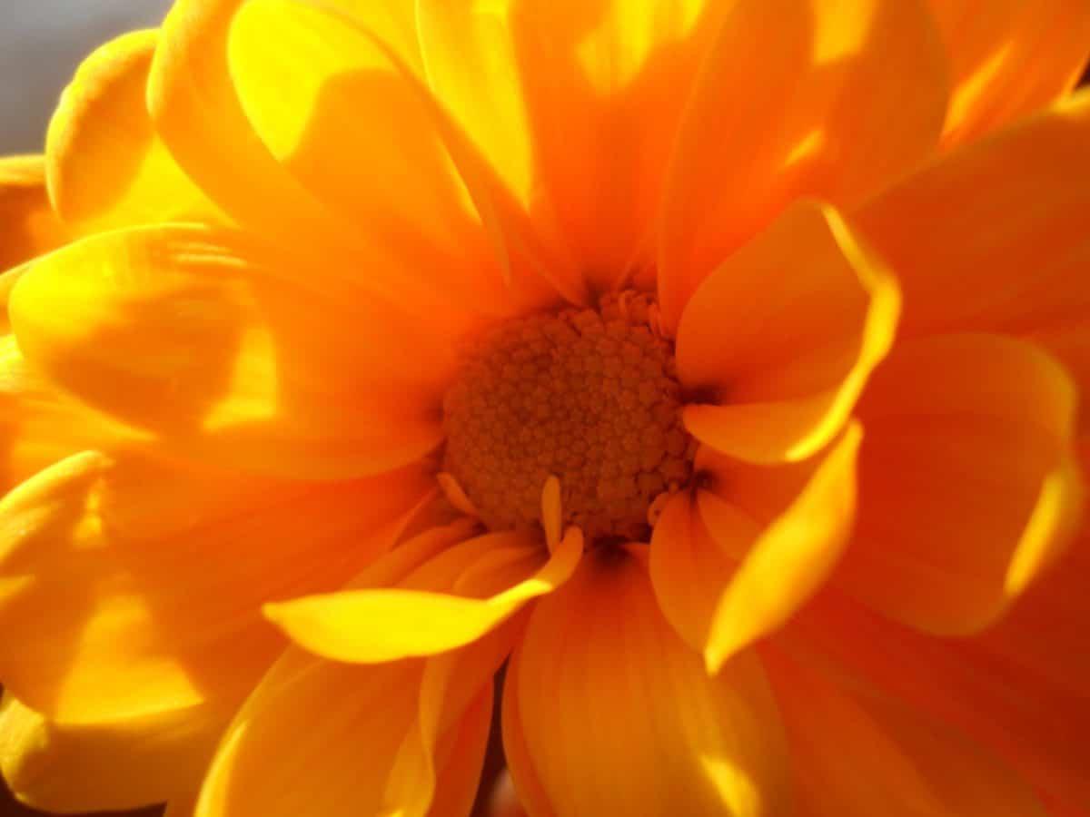 flore, fleurs, été, nature, pétale, tournesol, plante, jardin