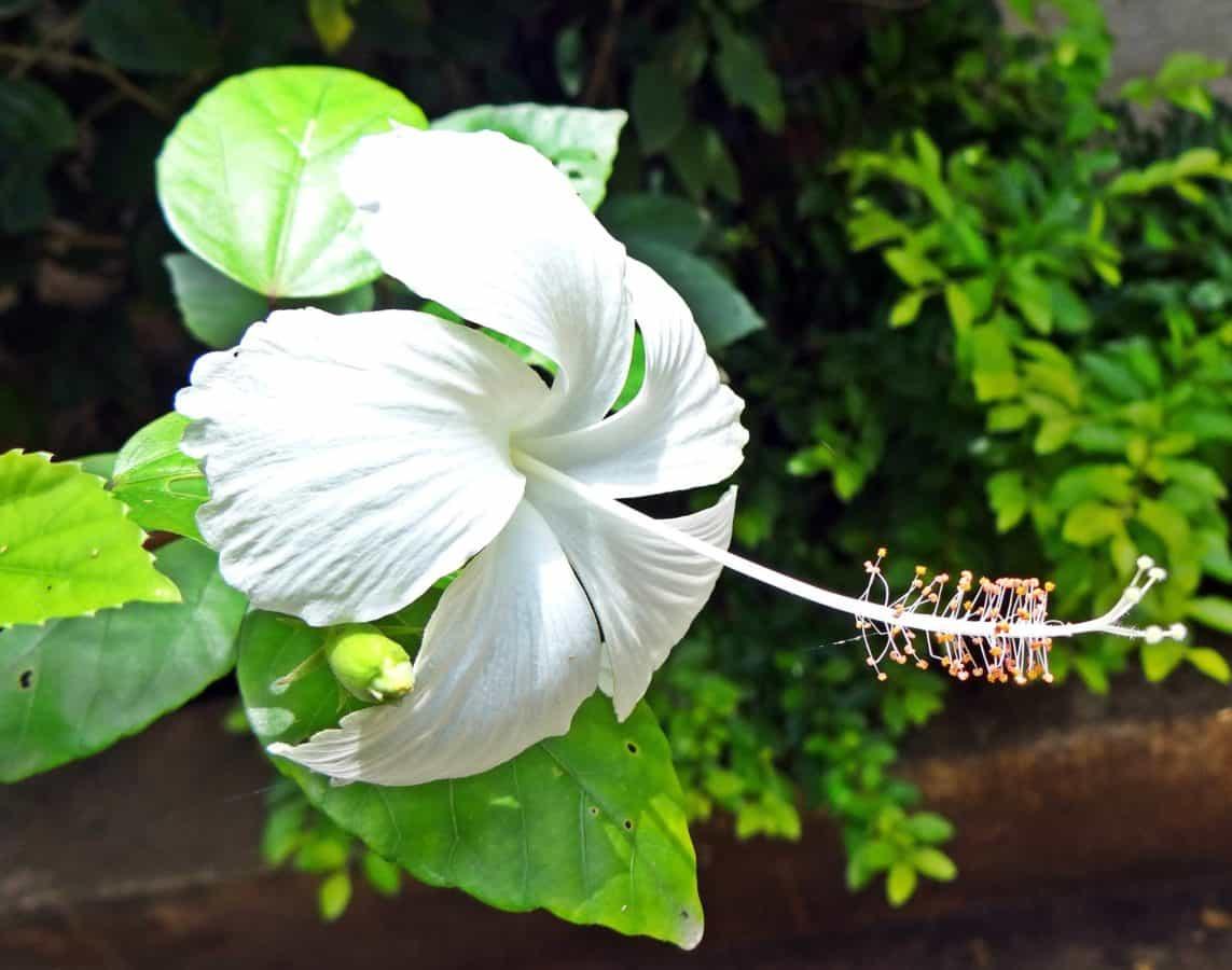 Tropic, egzotični cvijet, list, flore, priroda, cvijet, vrt, ljeto, bijela, biljka