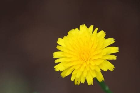 nature, flower, herb, dandelion, plant, blossom, bloom, petal