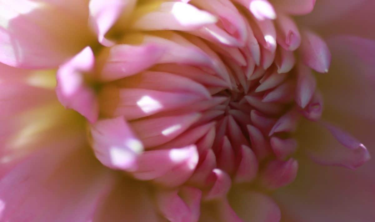 fiore giardino, flora, estate, bella, natura, rosa, petali