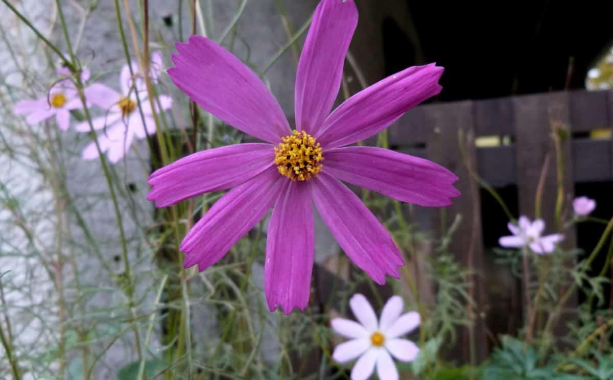 flore, nature, été, fleur, daisy, pétale, plante, jardin